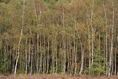 Birch trees at the forest edge Stock Images