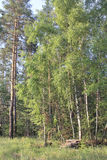 Birch trees in a forest glade.  royalty free stock images