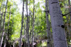 Birch Trees in Forest stock photo