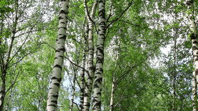 Birch trees in a forest stock video