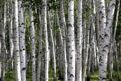 Birch trees, forest, no one Royalty Free Stock Photography