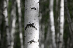 Birch trees, forest, no one Stock Image