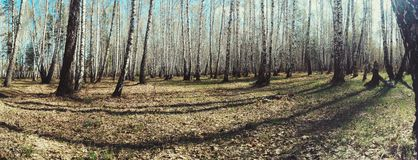 Birch trees forest panorama view Royalty Free Stock Photos