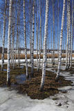 Birch trees forest at spring Stock Images