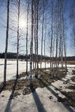 Birch trees forest at spring Stock Photos