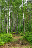 Birch trees in forest stock images