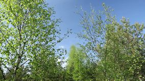 Birch trees in the spring with blue sky. Birch trees in the forest during spring with blue sky stock video footage