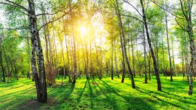 Birch trees in forest at sunset. Beautiful nature landscape panorama stock photo
