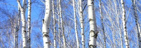 Birch trees in forest. Trunks of birch trees in forest royalty free stock images