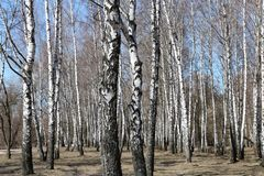 Birch trees in forest Stock Photography