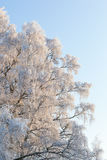 Birch trees with frost Stock Images