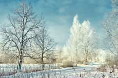Birch trees with Frost Royalty Free Stock Image