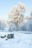 Birch trees with frost Stock Photo