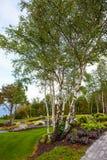 Birch trees in garden Stock Photo
