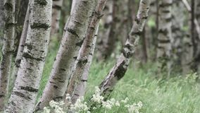 Birch forest in northern Italy stock video