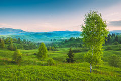 Birch trees on a green hill Stock Image
