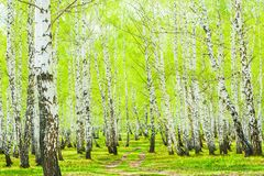 Birch in the spring forest. Birch trees with green leaves in the spring forest stock images