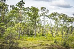 Birch trees with green leaves stock photography