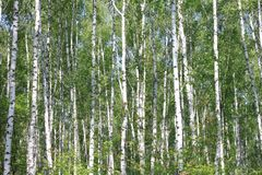 Birch trees with green leaves in summer in sunny weather. Beautiful young birch trees with green leaves in summer in sunny weather royalty free stock image