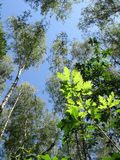 Birch trees, green oak leafs, blue sky, forest Stock Photo