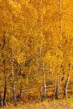Birch trees grove Royalty Free Stock Image