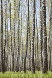 Birch trees grove. Spring landscape Royalty Free Stock Photo
