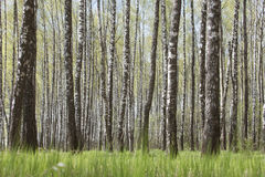 Birch trees grove. Spring russian landscape Stock Photos