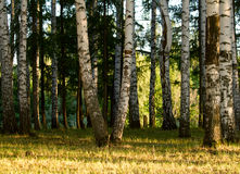 Birch trees Royalty Free Stock Images