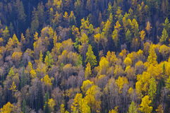 Birch trees on the hillside Stock Photos