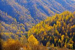 Birch trees on the hillside Stock Photography