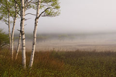 Birch Trees II Royalty Free Stock Photo