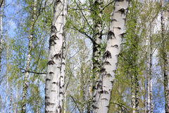 Free Birch Trees In Forest Royalty Free Stock Images - 91244169