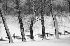 Birch Trees In Winter Covered By Snow Stock Photo