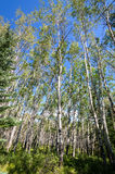Birch trees in Jasper in Canada Stock Images