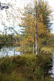 Birch trees on the lake in the autumn. stock photos