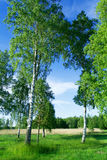 Birch trees at lake side Stock Photo