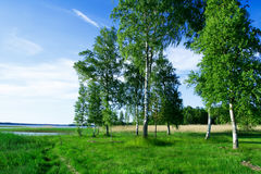 Birch trees at lake side Royalty Free Stock Photo