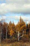 A birch tree's last stand in late fall royalty free stock image