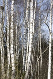 Birch trees in late winter stock images