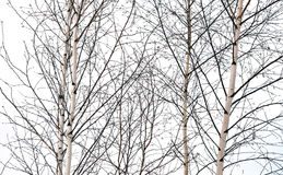 Birch trees without leaves Stock Photo