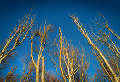 Birch trees. Without leaves towards blue sky in autumn royalty free stock photo