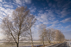 Birch trees lining road Stock Photography