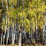 Birch trees lit by sun in copse in forest. Of urban park in sunny autumn day royalty free stock image