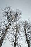Birch trees looking up. Birch trees - wide angle looking up Stock Photos