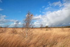 Birch trees on marsh over blue sky Stock Photography