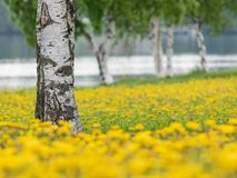 Birch trees in the midst of blossoming dandelions. In Oulu, Northern Finland stock photo