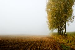 birch trees in misty morning Stock Photos