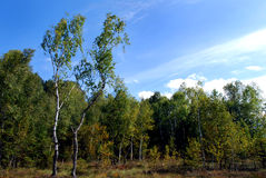 Birch trees and moor Stock Photos