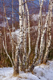 Birch trees on mountain Stock Photos
