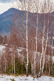 Birch trees on mountain Royalty Free Stock Photography